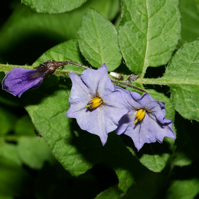 Solanum fendleri - Fendler's Horsenettle, Fendler's Potato, Wild Potato (purple flowers)
