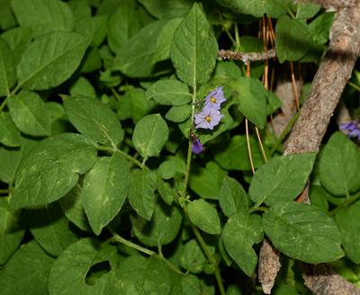 Solanum fendleri - Fendler's Horsenettle, Fendler's Potato, Wild Potato