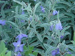 Solanum elaeagnifolium - Silverleaf Nightshade, Purple Nightshade, White Horsenettle, Tomato Weed, Trompillo