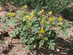 Solanum rostratum - Buffalobur Nightshade, Buffalobur, Buffalo Burr, Colorado Bur, Kansas Thistle, Mexican Thistle, Texas Thistle