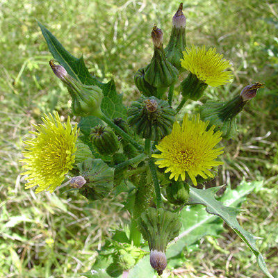 Sonchus asper - Spiny Sowthistle, Prickly Sow Thistle, Rough Sow-thistle, Spiny-leaf Sow-thistle