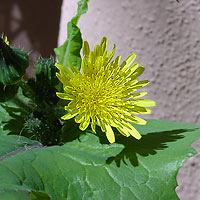 Yellow Flowers - Sonchus oleraceus – Common Sowthistle