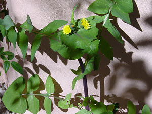 Sonchus oleraceus - Common Sowthistle, Common Sow-thistle, Annual Sowthistle, Sow Thistle
