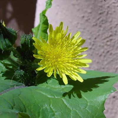 how to get rid of prickly sow thistle