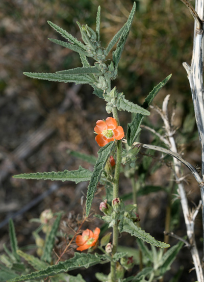 Sphaeralcea angustifolia - Copper Globemallow, Narrowleaf Globemallow, Narrowleaf Desertmallow