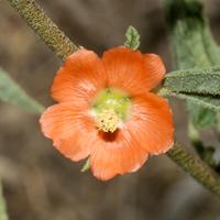 Orange Flowers - Sphaeralcea angustifolia – Copper Globemallow