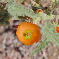 Orange Flowers - Sphaeralcea emoryi – Emory's Globemallow