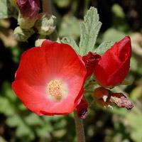 Red Flowers - Sphaeralcea ambigua – Desert Globemallow