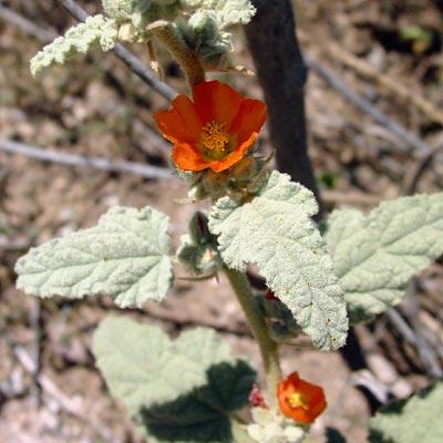 Sphaeralcea emoryi - Emory's Globemallow, Emory's Desertmallow