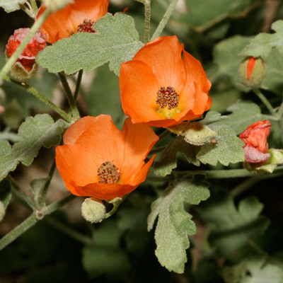 Sphaeralcea laxa - Caliche Globemallow