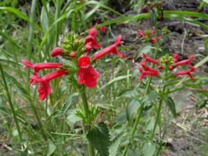 Stachys coccinea - Scarlet Hedgenettle, Scarlet Hedge Nettle, Texas Betony, Scarlet Sage