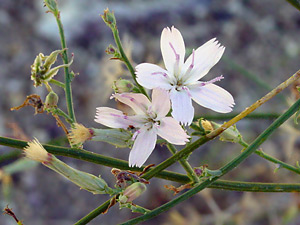 Stephanomeria pauciflora - Brownplume Wirelettuce, Desert Straw, Fewflower Wirelettuce, Wire Lettuce