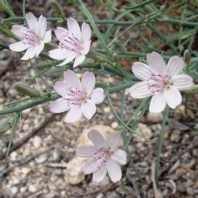 Stephanomeria pauciflora - Brownplume Wirelettuce, Desert Straw, Fewflower Wirelettuce, Wire Lettuce