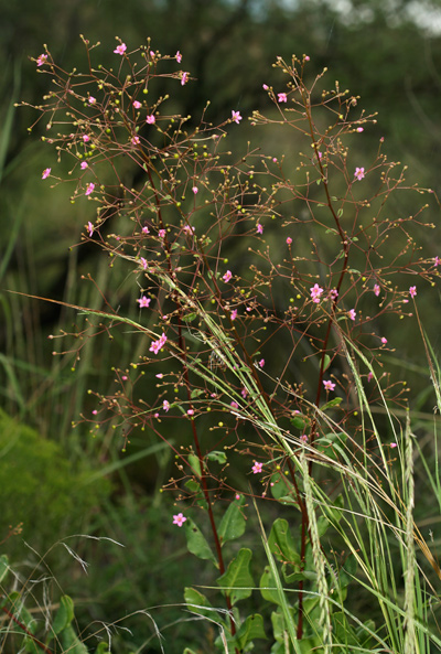 Talinum paniculatum - Jewels of Opar, Jewels-of-Opar, Pink Baby-breath, Pink Baby's Breath, Big Talinum
