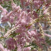 Pink Flowers - Tamarix spp. – Tamarisk
