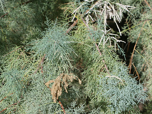Tamarix sp. - Tamarisk, Saltcedar, Salt Cedar