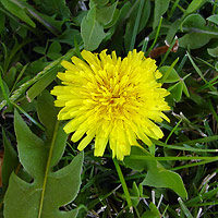 Yellow Flowers - Taraxacum officinale – Common Dandelion