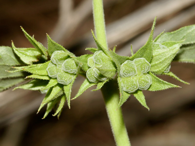 Tetraclea coulteri - Coulter's Wrinklefruit