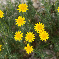 Yellow Flowers - Thymophylla pentachaeta – Fiveneedle Pricklyleaf