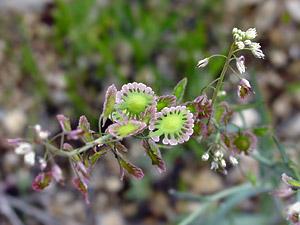 Thysanocarpus curvipes - Sand Fringepod, Sand Lacepod, Lacepod Mustard (fruit)