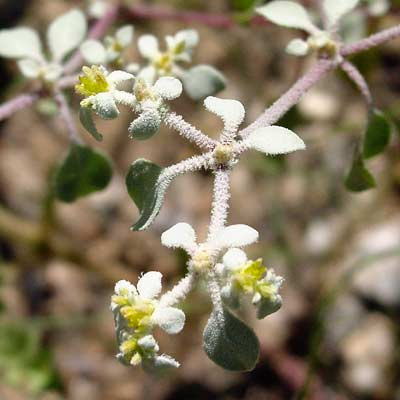 Tidestromia lanuginosa - Woolly Tidestromia, Honeymat