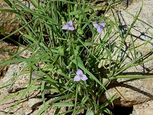 Tradescantia occidentalis - Prairie Spiderwort, Western Spiderwort