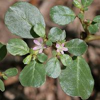 Pink Flowers - Trianthema portulacastrum – Desert Horsepurslane