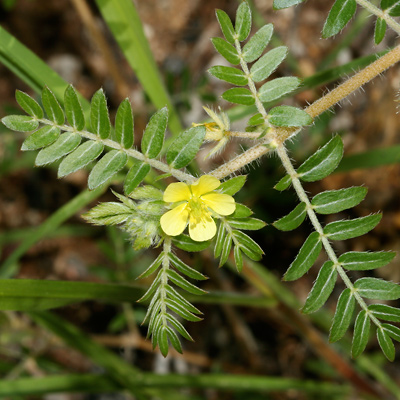 Tribulus terrestris - Puncturevine, Puncture Vine, Goat's Head, Goathead, Caltrop, Bullhead, Texas Sandbur, Mexican Sandbur (flower and leaves)