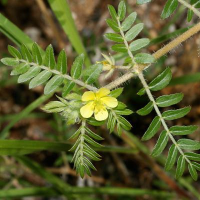 Tribulus terrestris - Puncturevine, Puncture Vine, Goat's Head, Goathead, Caltrop, Bullhead, Texas Sandbur, Mexican Sandbur (flower and leaves)
