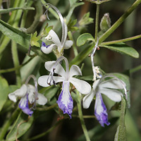 Purple and Blue Flowers - Trichostema arizonicum – Arizona Bluecurls