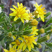 Yellow Flowers - Trixis californica – American Threefold