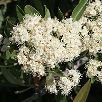 White Flowers - Vauquelinia californica – Arizona Rosewood