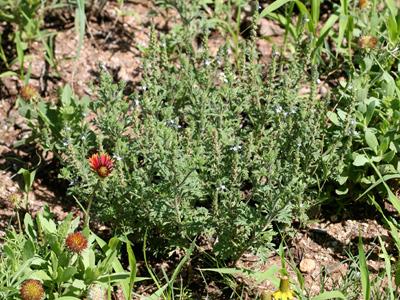 Verbena gracilis - Fort Huachuca Vervain, Fort Huachuca Verbena