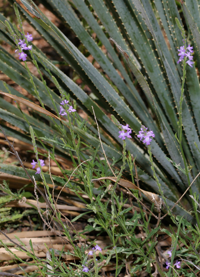 Verbena neomexicana - Hillside Vervain, Hillside Verbena, New Mexico Verbena