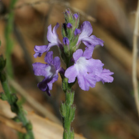 Purple and Blue Flowers - Verbena neomexicana – Hillside Vervain
