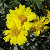 Yellow Flowers - Verbesina encelioides – Golden Crownbeard