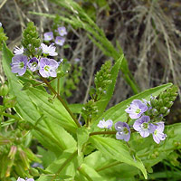 Purple and Blue Flowers - Veronica anagallis-aquatica – Water Speedwell