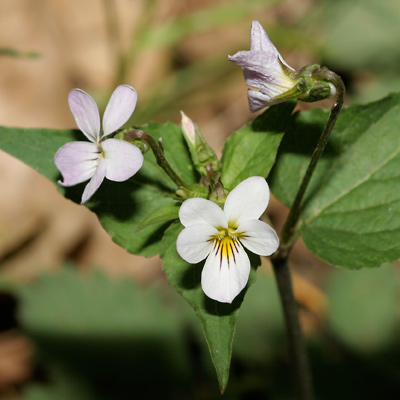 Viola canadensis - Canadian White Violet, Canada Violet, Tall White Violet (flowers)