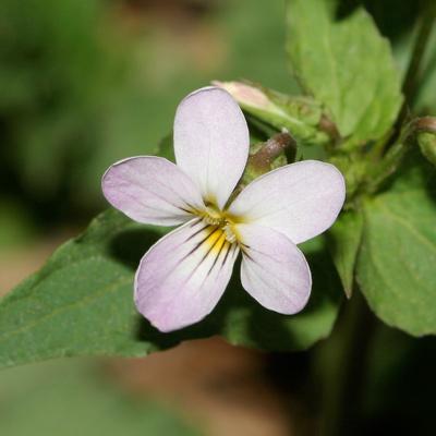 Viola canadensis - Canadian White Violet, Canada Violet, Tall White Violet (flower)