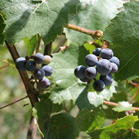 Conspicuous Fruit or Cones - Vitis arizonica – Canyon Grape