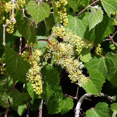 Vitis arizonica - Canyon Grape, Arizona Grape (flowers)