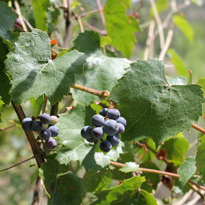 Vitis arizonica - Canyon Grape, Arizona Grape (fruit)