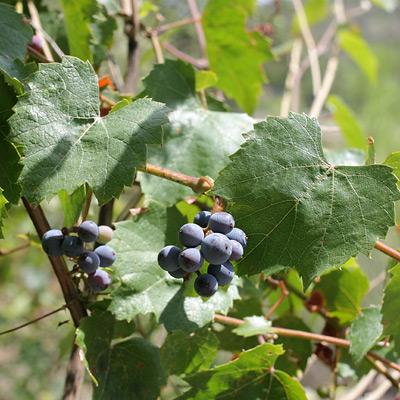 Vitis arizonica - Canyon Grape, Arizona Grape (fruit)