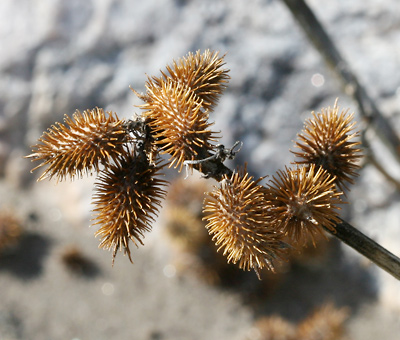 Xanthium strumarium - Rough Cocklebur, Common Cockleburr