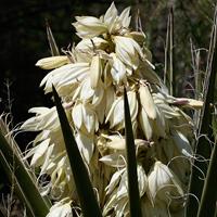 White Flowers - Yucca baccata – Banana Yucca