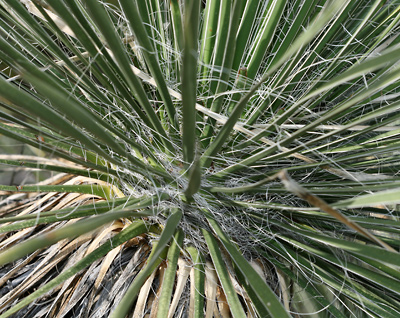 Yucca elata - Soaptree Yucca (leaves)