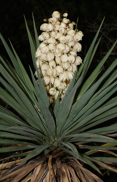 Yucca madrensis - Sierra Madre Yucca, Mountain Yucca
