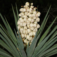 White Flowers - Yucca madrensis – Sierra Madre Yucca