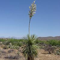 White Flowers - Yucca elata – Soaptree Yucca