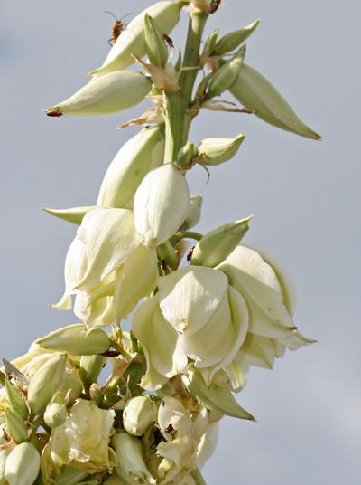 Yucca elata - Soaptree Yucca (flowers)